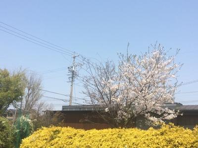 うちの庭の桜