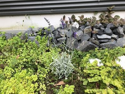 江南市、初夏のガーデニング、花、ラベンダー