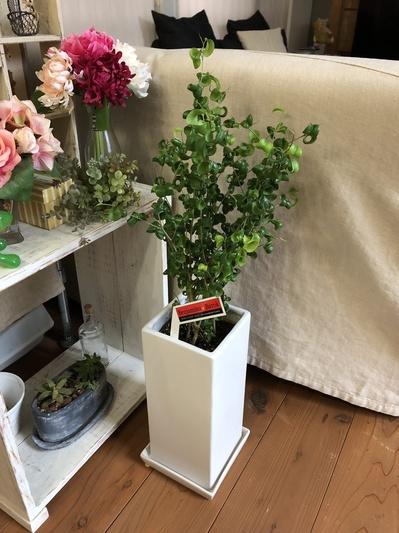 名古屋市 ガレージ グリーン 植物 寄植え ガーデニング フィリクスベンジャミンバロック