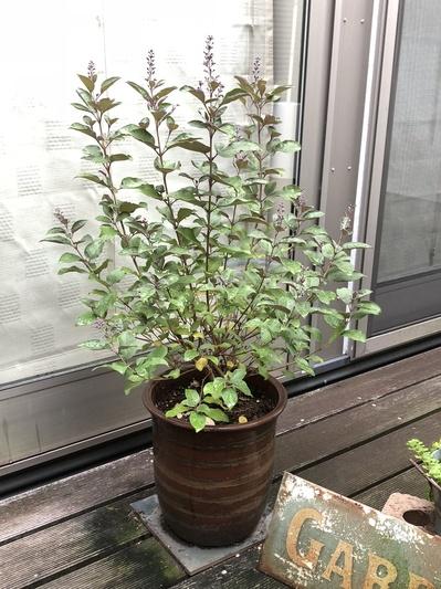 名古屋市 ガレージ グリーン 植物 寄植え ガーデニング 西洋ニンジンシンボク