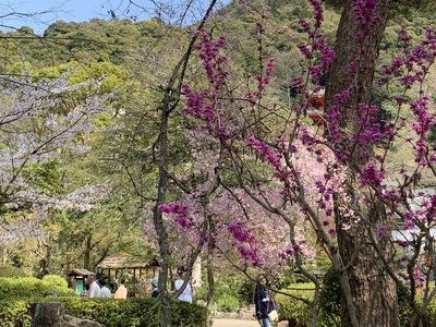 2020年、桜、岐阜公園