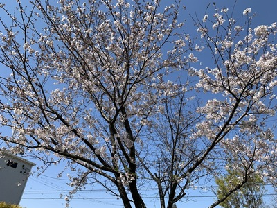 2020年、桜、うちの桜